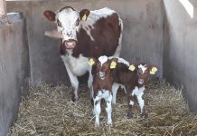 The two beautiful calves born on Christmas Day at Tannaghmore Rare Breeds Animal Farm along with their very proud mother